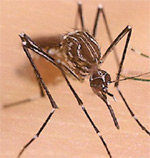 Photo: CDCAedes aegypti