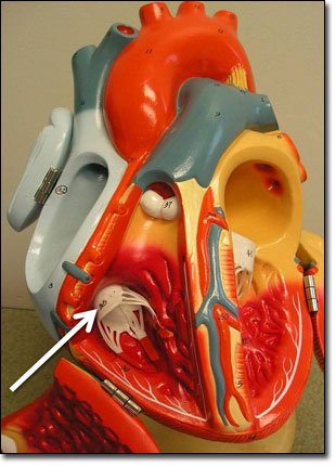 Tricuspid valve in a model heart